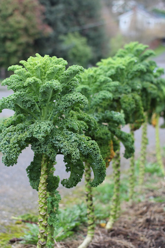 tall_kale_crop